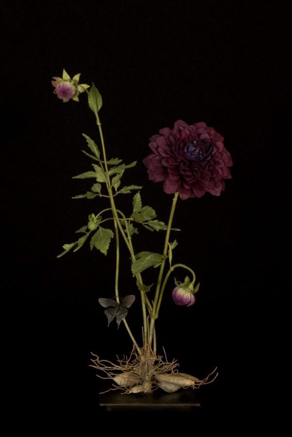 dark-dahlia-with-philenor-600x898